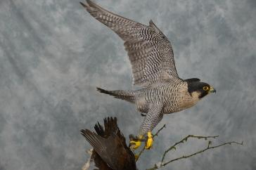 peregrine-falcon-falco-peregrinus-8526-3